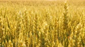 spikelet : Golden rye or wheat in a field. Harvest time. Organic farming