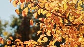 delicato : Autumn foliage. Golden trees. Sunny day. Leaves sway in wind.