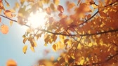fragil : Autumn forest beauty. Golden tree leaves. Sun beam. Blue sky.