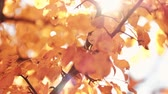 frágil : Autumn nature park. Golden tree leaves sway in wind. Sunny day.