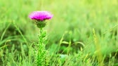 herbaceous : Summer. Background with prairie grasses. Thistle flower Stock Footage