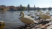 swan : Czech Republic. Prague. View of the Charles bridge on a Sunny day. A lot of white swans in a calm water of the Vltava river