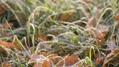 first : frosted grass with oak leaves, after first cold night
