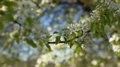 flare : apple tree blossom flowers in sunny day closeup