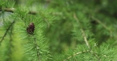 decídua : larch tree with cones in summer day filmed in 60fps slowmo