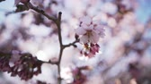 handheld : Handheld closeup shot of sakura in bloom in sunny spring day, uhd footage