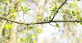 malus : pan shot of apple tree branches in spring sunlight, 4k 60fps footage