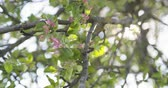 botany : slow motion closeup focus pull shot of light pink apple tree blossom