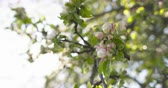 bloom : closeup pan shot of light pink apple tree blossom
