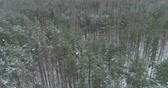 береза : Aerial forward fly over winter frozen pine forest Стоковые видеозаписи