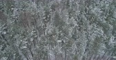 береза : Aerial orbit fly over winter frozen pine forest