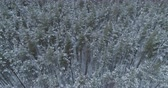 geada : Aerial orbital high angle flight over frozen winter pine forest