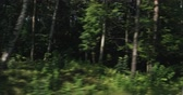fast moving : Slow motion green mixed forest on summer sunny day side view from moving car Stock Footage