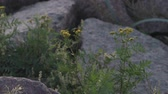 raio de sol : Slow motion handheld closeup of wild plants growing between granite rocks and stones