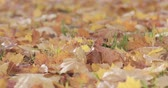 bright colors : Closeup slow motion pan of fallen maple autumn leaves on grass Stock Footage
