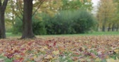 outubro : Slow motion of maple tree in park slowly shedding leaves Stock Footage