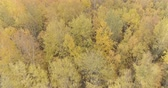 lipa : Aerial backward ascent shot over yellow golden birch forest in autumn