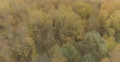 осина : Aerial forward shot over yellow golden birch forest in autumn