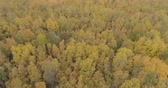 nyírfa : Aerial forward shot over yellow golden birch forest in autumn