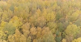 береза : Aerial forward shot over yellow golden birch forest in autumn