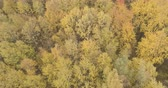 lipa : Aerial fast forward shot over yellow golden birch forest in autumn
