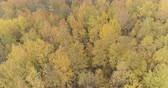 осина : Aerial fast forward shot over yellow golden birch forest in autumn