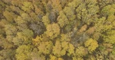 lipa : Aerial forward tilt shot over yellow golden birch forest in autumn