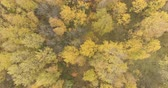 lipa : Aerial backward tilt shot over yellow golden birch forest in autumn
