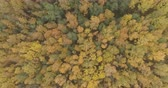 непосредственно над : Aerial top view forward shot over yellow golden birch forest in autumn