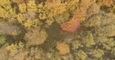 diretamente acima : Aerial top view spin shot over yellow golden birch forest in autumn Stock Footage