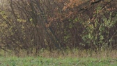 carvalho : Slow motion falling autumn oak leaves in front of bushes Stock Footage