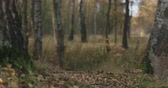 ствол : Slow motion focus pull in autumn wild park with birch trees low angle