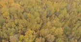 lipa : Aerial forward shot with tilt over yellow golden birch forest in autumn