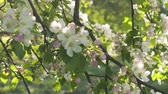 тендер : slow motion handheld shot of light pink apple tree blossom