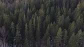 ocak : Aerial forward flight over winter fir forest in sunset Stok Video