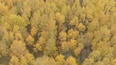 tiglio : Aerial backward ascent shot over yellow golden birch forest in autumn