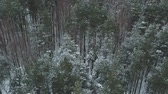 береза : Aerial backward fly over winter frozen pine forest