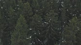 fir : Aerial forward fly over winter fir forest
