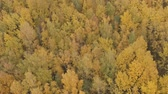 lipa : Aerial backward shot over yellow golden birch forest in autumn