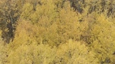 lipa : Aerial forward shot over yellow golden birch forest in autumn