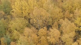 říjen : Aerial forward shot over yellow golden birch forest in autumn