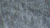над : Aerial forward descent flight over frozen winter pine forest