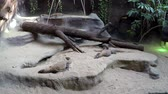 tál : Small Komodo Dragons in a zoo camera panning left to right also known as Varanus Komodoensis or the Komodo Monitor it is a large species of lizard found in the Indonesian islands 4k high resolution