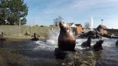 male animal : Funnycutemonsters Steller sea lions showjumping or large rock going under water and then making somersaults above water during feeding time beautiful mammals ook showing Alpha male front or group waiting 4k