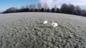 very low : Beautiful low-altitude aerial cricle around swan couple white swans male and female walking on frozen ground grassland white landscape cold feeding on grass in the early morning aerial amazing 4k Stock Footage