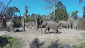 animal penis : Footage of group of zoo elephants large male bull elephant walking past showing its large penis hanging bull moving for some food walking slowly towards hay container crisp blue sky animals at ease 4k