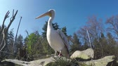 tál : Low angle footage of Pelican large waterbird thatmakes up family Pelecanidae characterised by long beak and large throat pouch used for catching prey and draining water from scooped up contents 4kLow angle footage of Pelican large waterbirds thatmakes up