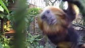 tál : Golden-headed lion tamarin jumping or platform and moving fast across sectors then jumps towards camera very close up of beautiful colorful fast and small monkey in zoo 4K high resolution Lion Tamarin