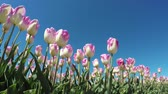 summer : Tulips low angle left side blue-sky background beautfiul pink white flowers slowly moved by wind spingtime tulips are Dutch tourist attraction in Holland Netherlands great website background 4k