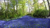 flowering bulbs : Beautiful forest and river of purple blue Small Grape Hyacinth flowers running through over forest campground unique site only to be seen in spring Hyacinthus is small genus of bulbous flowering plants 4k Stock Footage